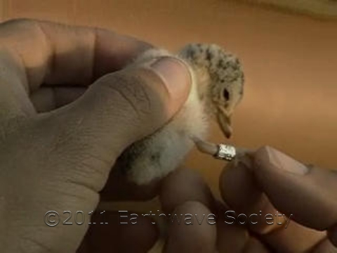 Tagged Least Tern Chick